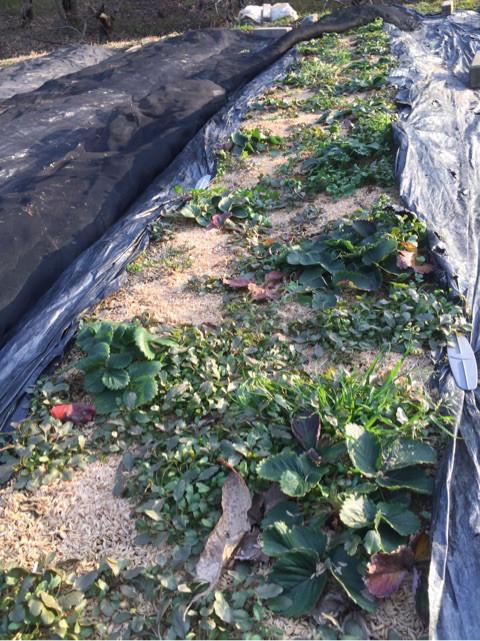 冬眠中のいちご畑(雑草多い)