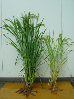 稲の比較 左が自然循環栽培のお米の稲、右が慣行田の稲