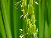稲の出穂の光景